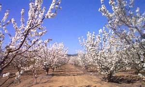 cherry orchard in bloom