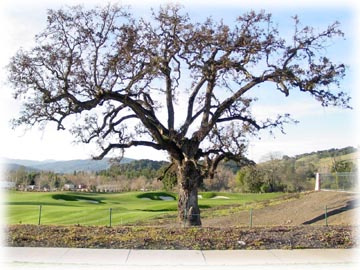 Majestic oak tree at Eagle Ridge